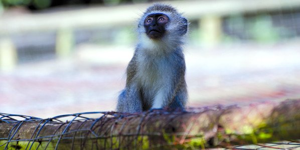 monkey veg gdn a shaw
