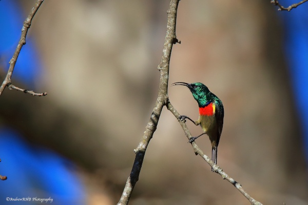 southern double collared sunbird a brown