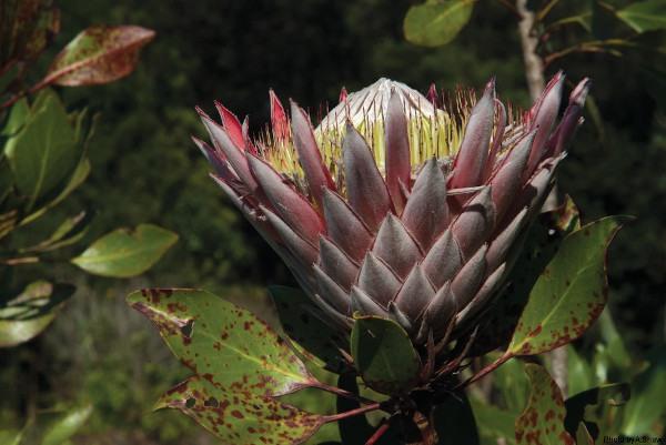 a shaw protea brc 0263