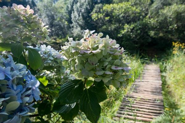 hydrangea blossoms a buckland2020
