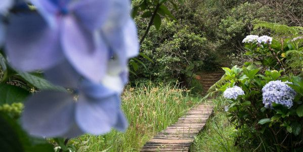 path hydrangea a buckland