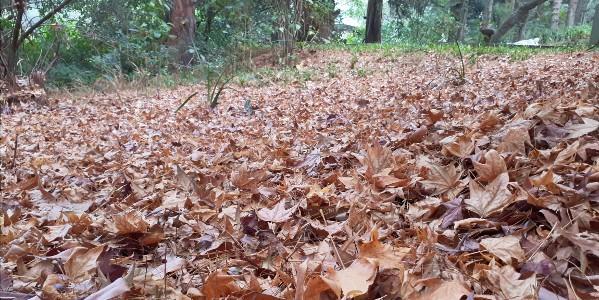 brc autumn leaves b hatcher