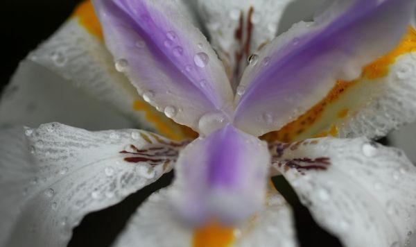 rain iris brc b hatcher
