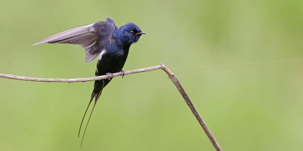 blue swallow 1richard flack