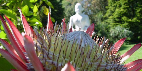 protea buddha campher
