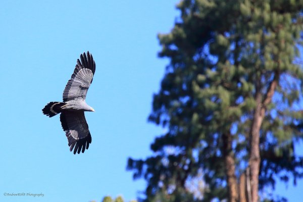 african harrier hawk a brown
