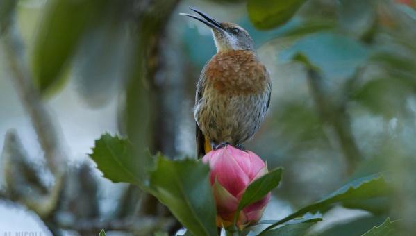sugarbird songs al nicol
