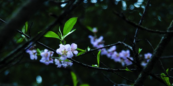 blossoms angela shaw 0030