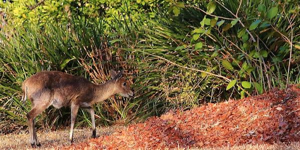 close buck in the garden a brown