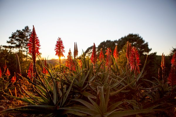 aloes a shaw9B1A6325