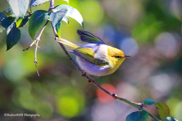 yellow throated woodland warbler.a brown