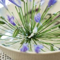i-cottage-agapanthus-in-bowl_SL_3166